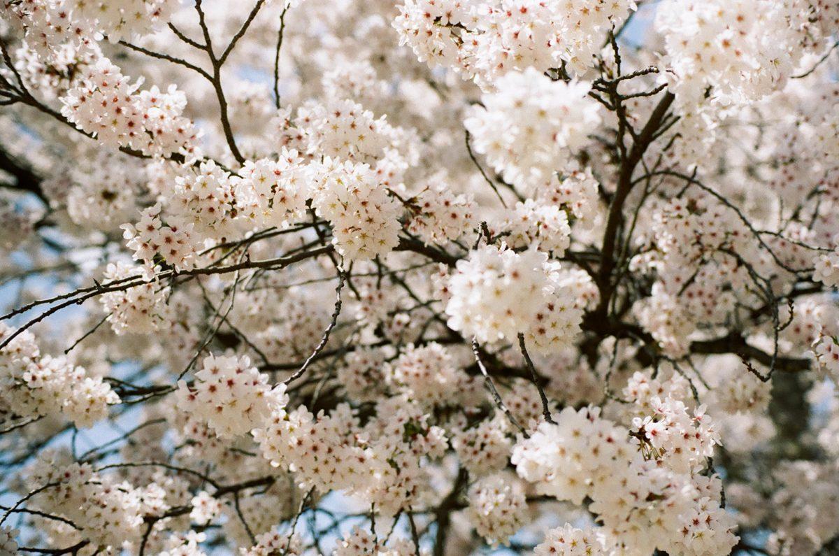 【桜】 福知山市