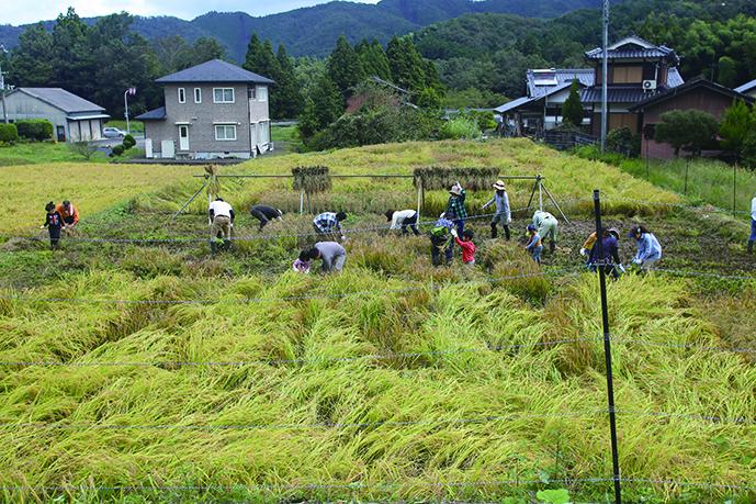 【稲刈り】 福知山市