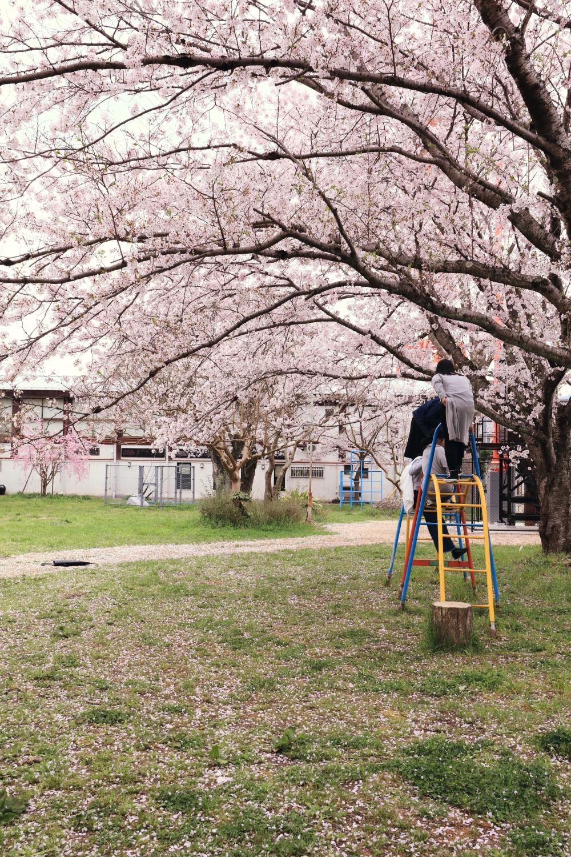 2017年4月10日 【公園の桜】 福知山市末広町4丁目
