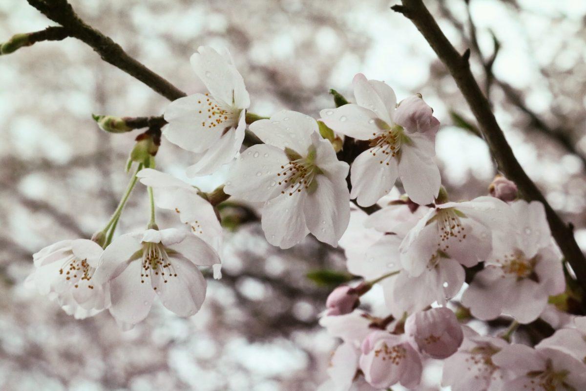 2017年4月8日 【福知山電車基地 周辺の桜】 福知山市半田