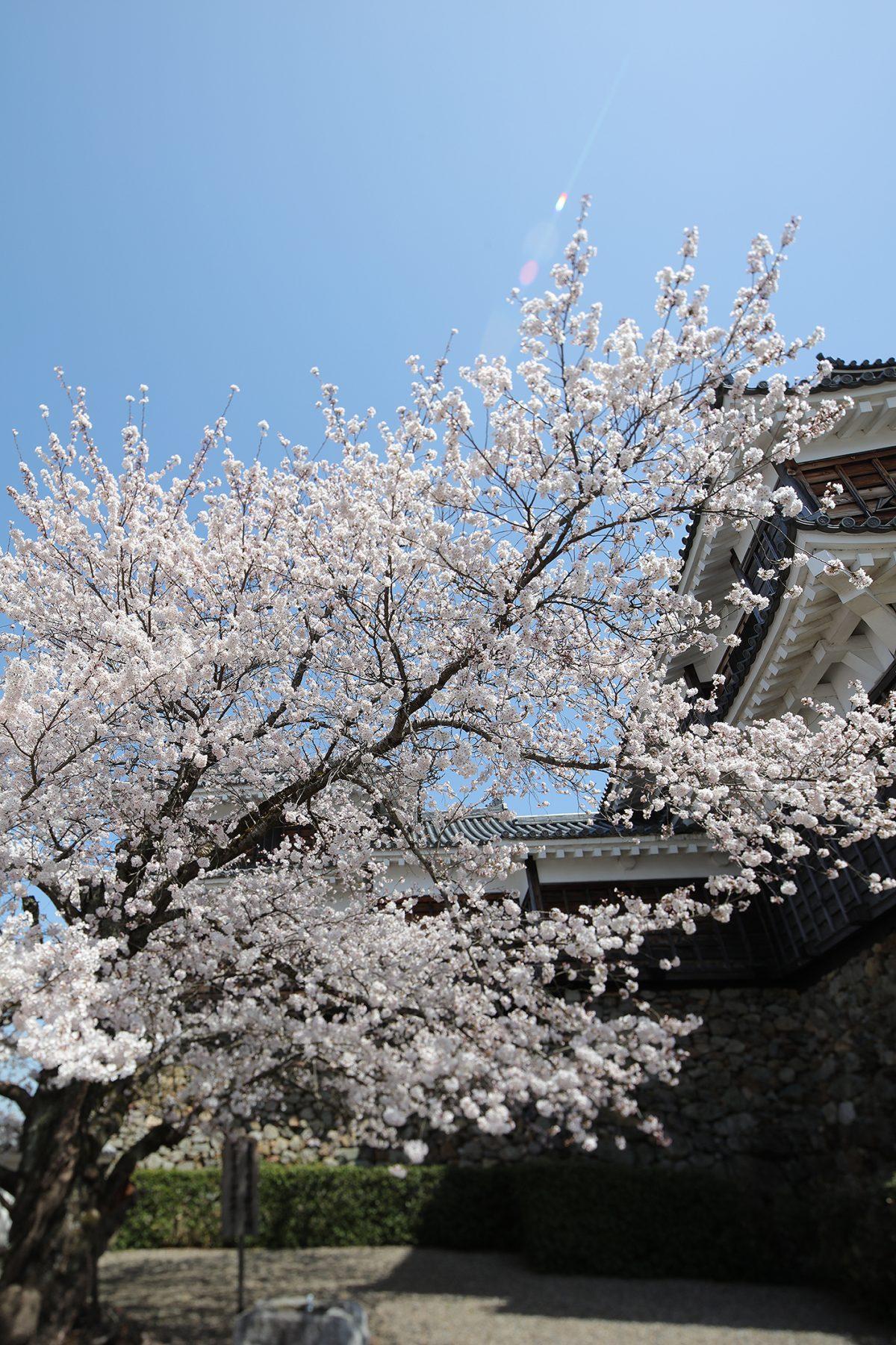 2018年3月27日【福知山城の桜】福知山市内記5