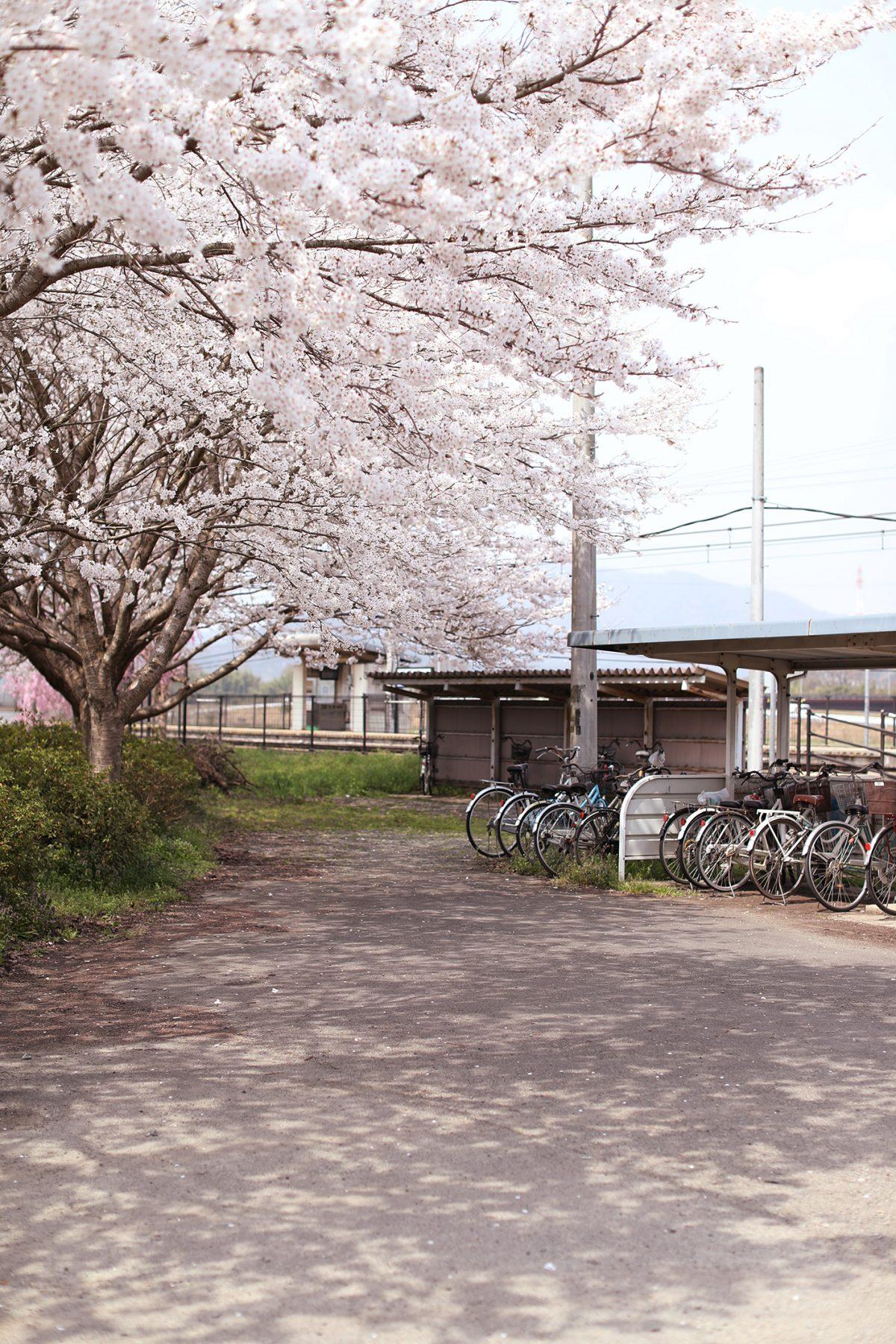 2018.4.2【桜】綾部市高津町